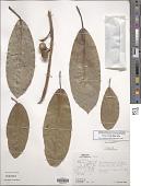 view Ficus crocata (Miq.) Miq. digital asset number 1