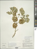 view Physalis nicandroides Schltdl. digital asset number 1