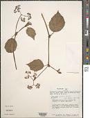 view Begonia glabra Aubl. digital asset number 1
