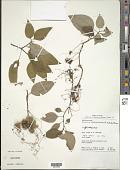 view Macrocentrum fasciculatum (Rich. ex DC.) Triana digital asset number 1