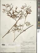 view Desmanthus leptophyllus Kunth digital asset number 1