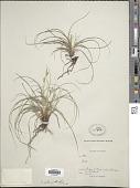 view Carex planostachys Kunze digital asset number 1
