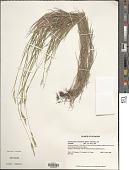 view Brachypodium mexicanum (Roem. & Schult.) Link digital asset number 1