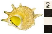 view Wheel-like Star Shell, Star-shell digital asset number 1