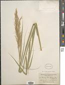view Phragmites australis (Cav.) Trin. ex Steud. digital asset number 1