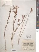 view Castilleja tenuiflora Benth. digital asset number 1