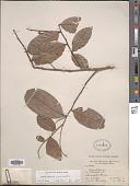 view Hirtella triandra Sw. subsp. triandra digital asset number 1