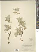 view Elaeagnus argentea Pursh digital asset number 1
