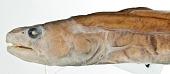 view Bathyuroconger fowleri Smith et al. digital asset number 1