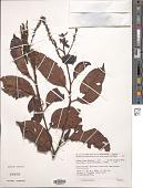 view Lithocarpus sp. digital asset number 1