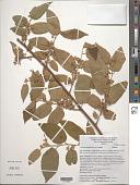 view Guazuma ulmifolia Lam. var. ulmifolia digital asset number 1