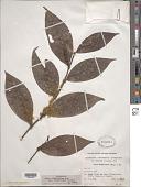 view Piper citrifolium var. parkerianum (C. DC.) Trel. & Yunck. digital asset number 1