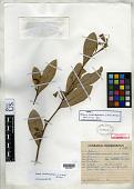view Solanum pseudodaphnopsis L.A. Mentz & Stehmann digital asset number 1