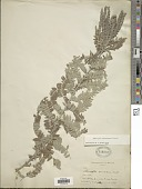 view Amorpha canescens Pursh digital asset number 1