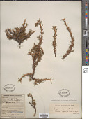 view Margyricarpus pinnatus (Lam.) Kuntze digital asset number 1