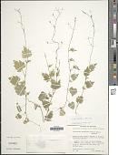 view Lobelia cordifolia Hook. & Arn. digital asset number 1