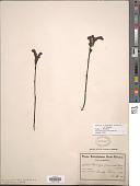 view Harveya pauciflora Hiern digital asset number 1