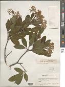 view Exothea paniculata (Juss.) Radlk. digital asset number 1