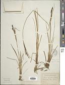 view Carex aquatilis Wahlenb. digital asset number 1