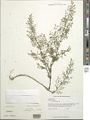 view Artemisia annua L. digital asset number 1