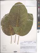 view Ficus bubu Warb. digital asset number 1