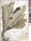 view Libanothamnus neriifolius var. columbicus (Cuatrec.) Cuatrec. digital asset number 1