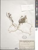 view Lobularia maritima (L.) Desv. digital asset number 1