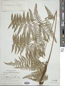 view Pteridium esculentum (G. Forst.) Cockayne digital asset number 1