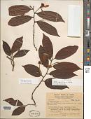 view Mollia gracilis Spruce ex Benth. digital asset number 1