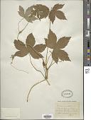 view Geranium nodosum L. digital asset number 1