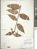 view Satyria panurensis (Benth. ex Meisn.) Benth. & Hook. f. ex Nied. digital asset number 1