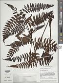 view Cyathea macrosora (Baker) Domin var. macrosora digital asset number 1