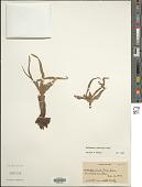 view Colchicum persicum Baker digital asset number 1
