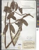 view Aganosma marginata (Roxb.) G. Don digital asset number 1
