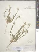 view Lesquerella grandiflora digital asset number 1