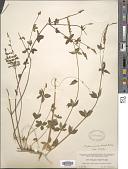 view Polygala aparinoides Hook. & Arn. digital asset number 1