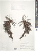 view Cephalocarpus dracaenula Nees digital asset number 1