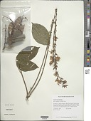view Dioclea guianensis Benth. digital asset number 1