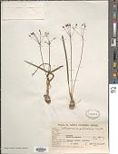 view Nothoscordum pulchellum Kunth digital asset number 1