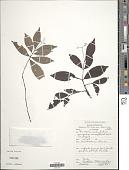 view Psychotria tenuicaulis K. Krause digital asset number 1