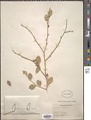 view Schaefferia frutescens Jacq. digital asset number 1