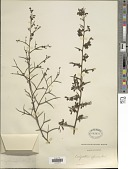 view Calicotome spinosa (L.) Link digital asset number 1
