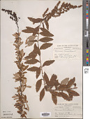 view Spiraea tomentosa L. digital asset number 1