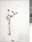 view Cyperus amuricus Maxim. digital asset number 1