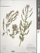 view Polanisia dodecandra subsp. uniglandulosa (Cav.) Iltis digital asset number 1