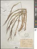 view Agrostis montevidensis A. Spreng. ex Nees in Mart. digital asset number 1