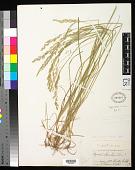 view Agrostis pallens Trin. digital asset number 1