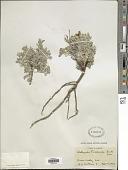 view Astragalus purshii var. tinctus M.E. Jones digital asset number 1