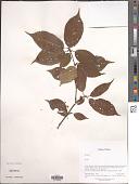 view Prunus sp. digital asset number 1