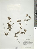 view Stachys eriantha Benth. digital asset number 1